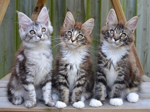 Tabula Rasa Maine Coons Kittens